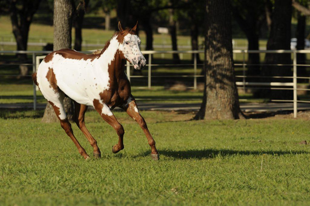 Paint horse running through pasture.