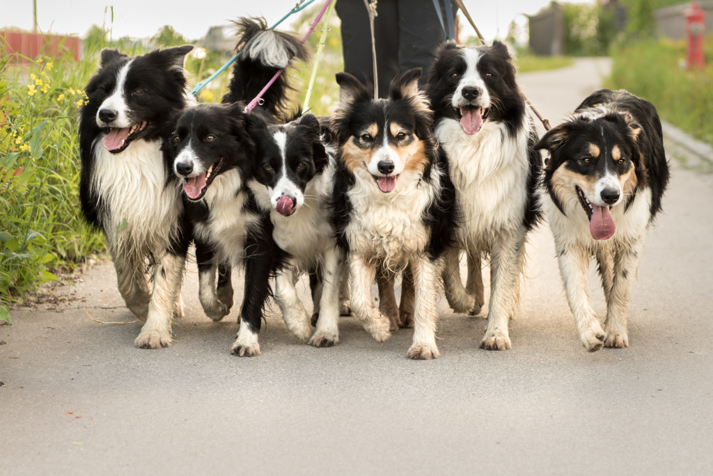 Six dogs being walked at the same time.
