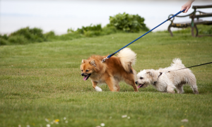 Two small dogs pulling on their leashes in a field.