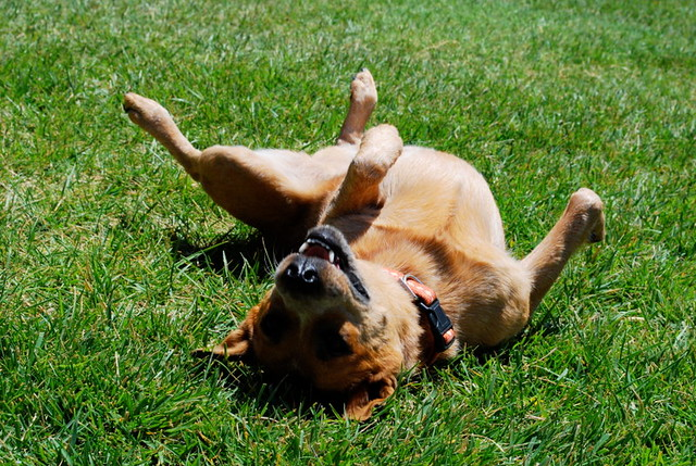 Dog rolling in grass.