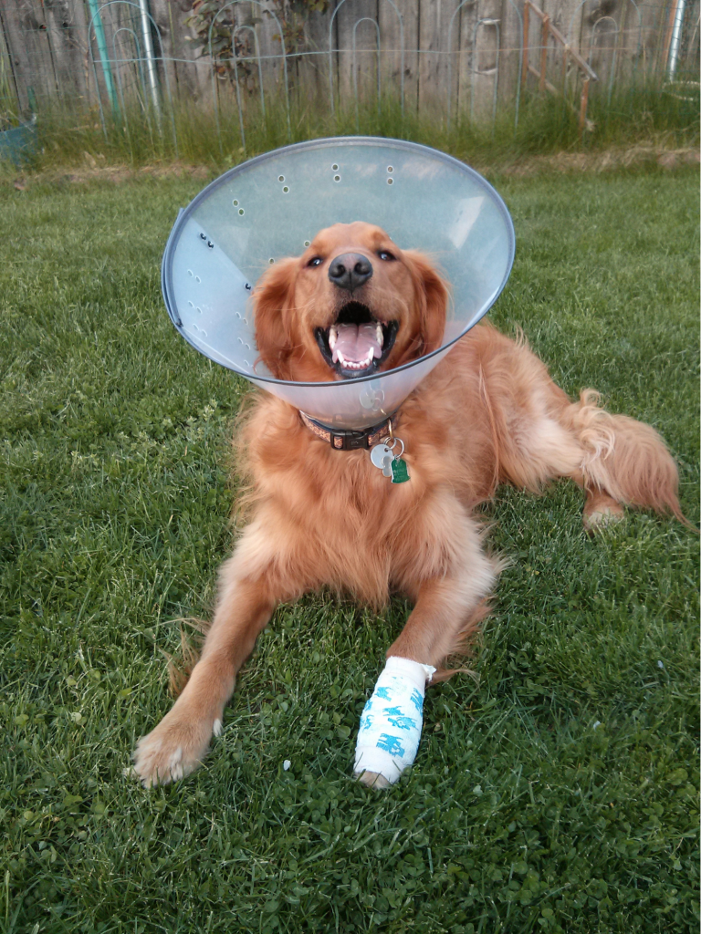 Golden retriever laying in grass with a bandaged leg and a cone.