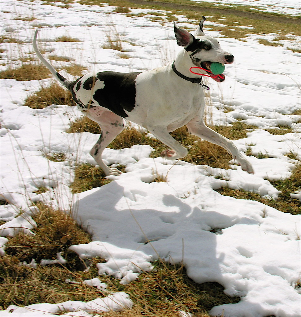 Three legged dog running through a snowy field with a ball in its mouth.